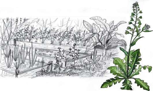 e65b499da715 ... семейство капустные(крестоцветные) - Brassicaceae (Cru-ciferae) -  встречается под названиями пастушья трава, сумочник, мочальная трава, ...